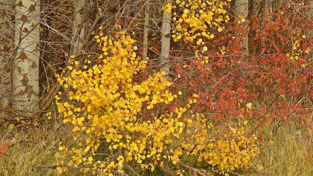 The fall colors of aspen and wild rose, two plants that grow throughout the Chiloquin area.