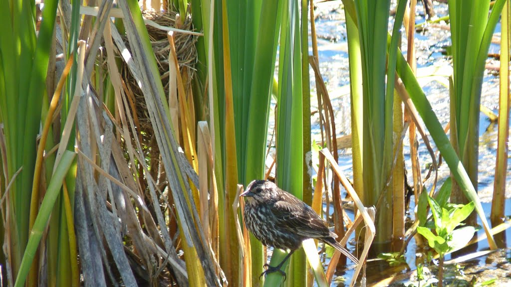 Cattails provide nesting sites for (amongst others) Canada geese, blackbirds, and this little sparrow who builds in the same place every year.