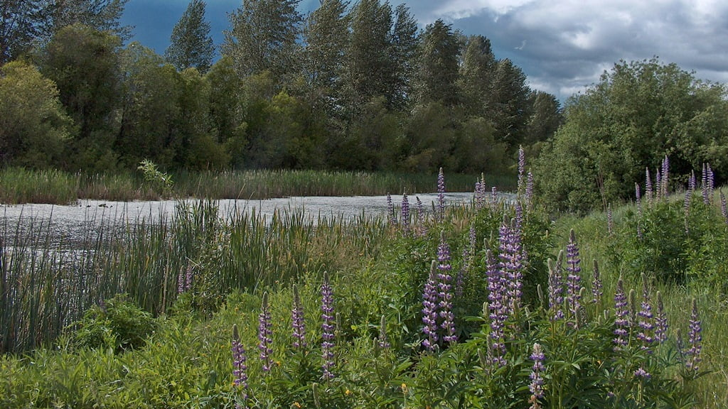 Cotton covered water, bigleaf lupine flowers and thunderstorms all go together in a Chiloquin spring.