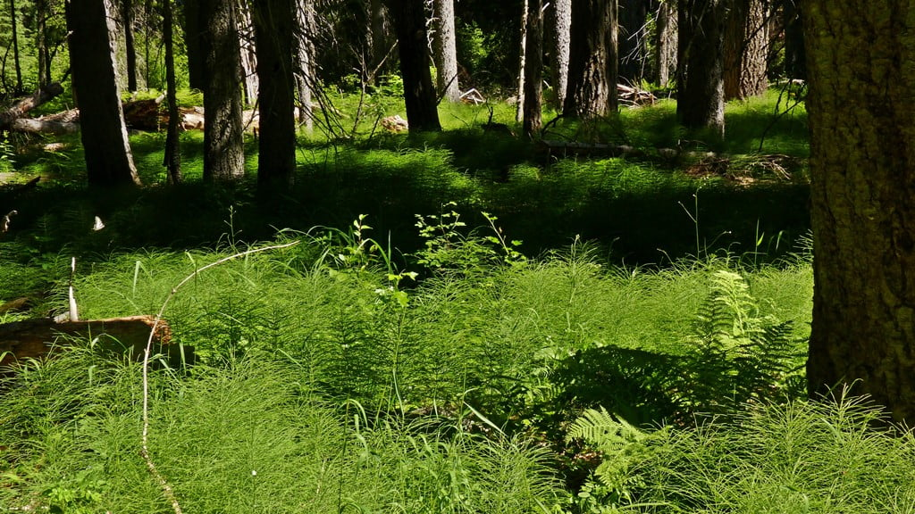 Horsetail (Equisetum) and ferns carpet the floor in a shady forest