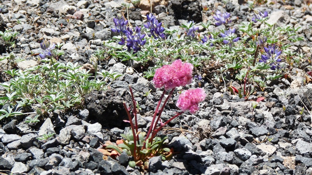 Alpine wildflowers found at Crater Lake: pussy paws and dwarf lupine.