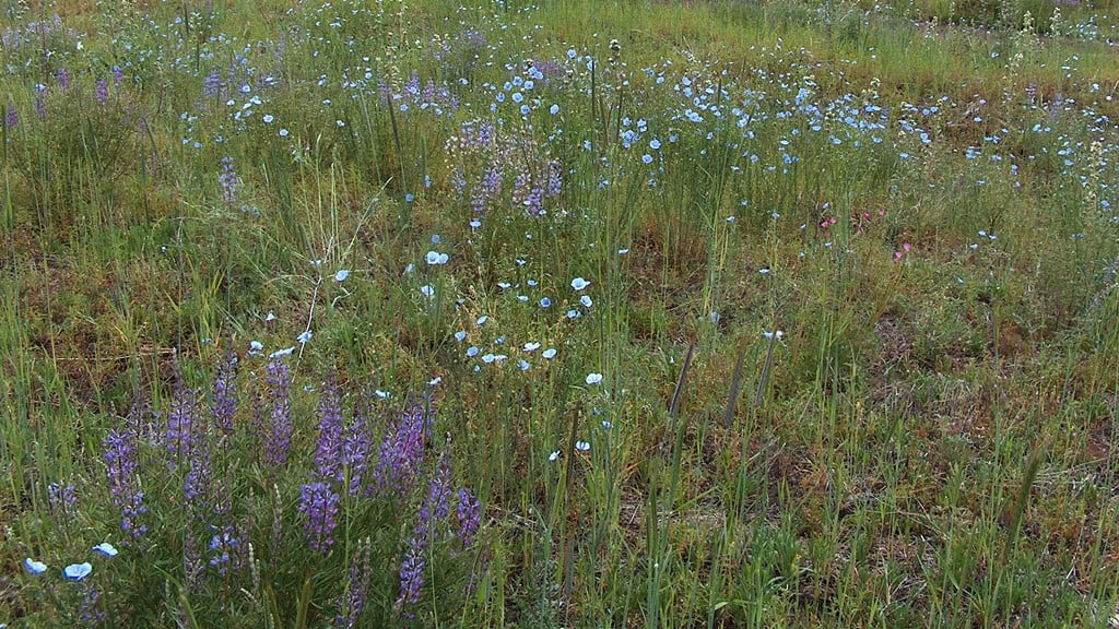 Spring Wild flowers: lupine, blue flax and a touch of pink checker mallow.