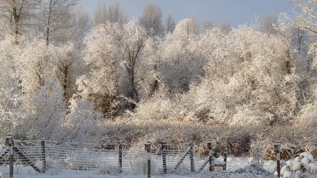 Morning sun highlights the lace of an overnight frost on the bare willow branches along the Wood River Canal.