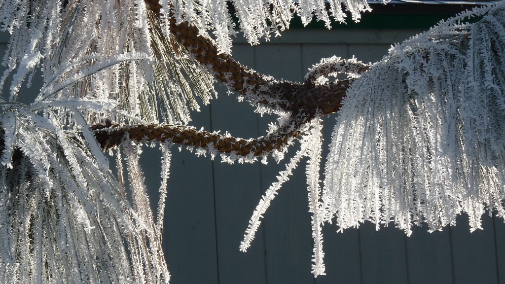 Cold enough that the winter sun does not melt the frost on the pine needles, formed during a night of freezing fog.
